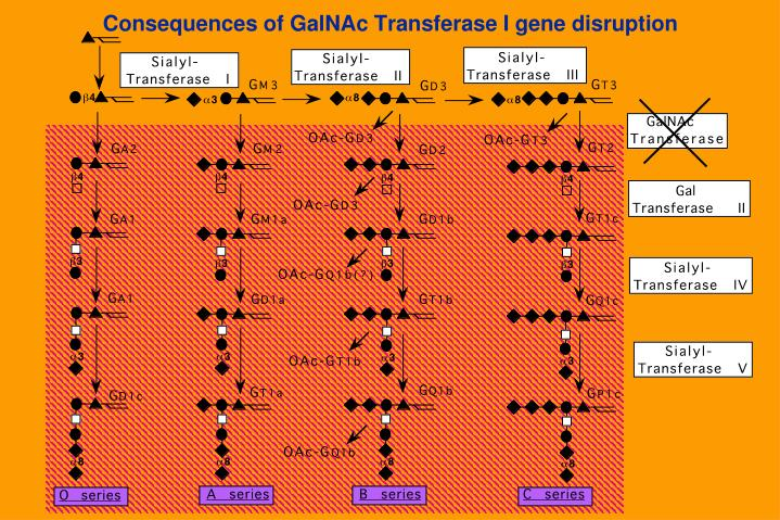 Consequences of GalNAc Transferase I gene disruption