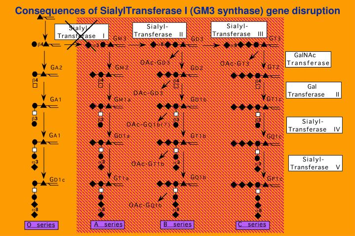 Consequences of SialylTransferase I (GM3 synthase) gene disruption