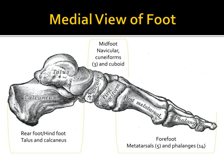 Medial view of foot