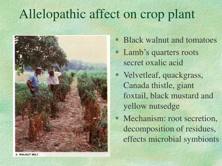 Allelopathic affect on crop plant