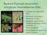 redroot pigweed amaranthus retroflexus amaranthaceae fam
