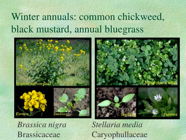 Winter annuals: common chickweed, black mustard, annual bluegrass