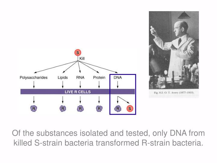 Of the substances isolated and tested, only DNA from killed S-strain bacteria transformed R-strain bacteria.