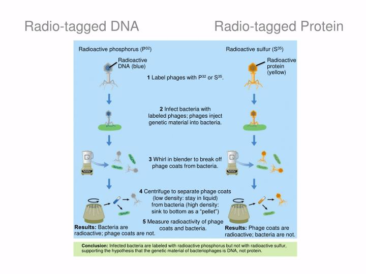 Radio-tagged DNA