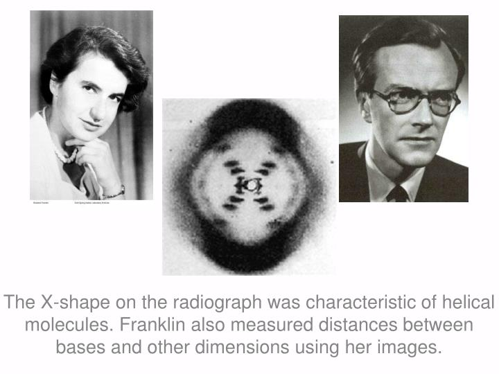 The X-shape on the radiograph was characteristic of helical molecules. Franklin also measured distances between bases and other dimensions using her images.