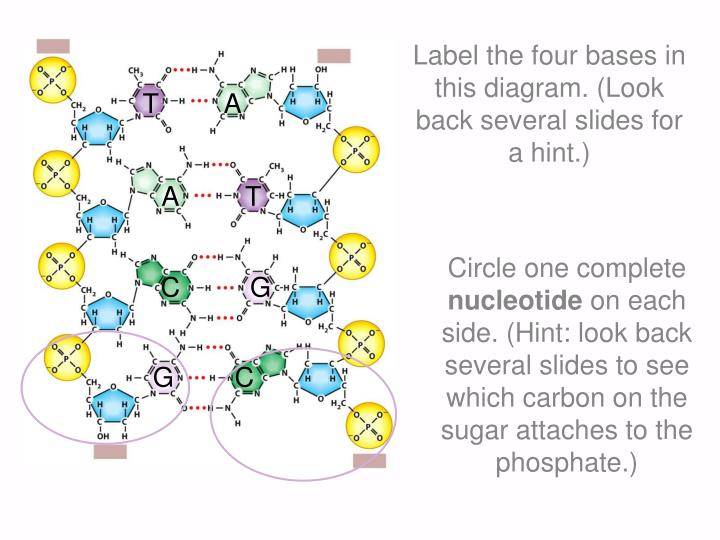 Label the four bases in this diagram. (Look back several slides for a hint.)
