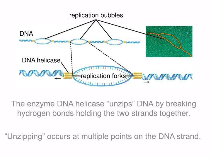 replication bubbles