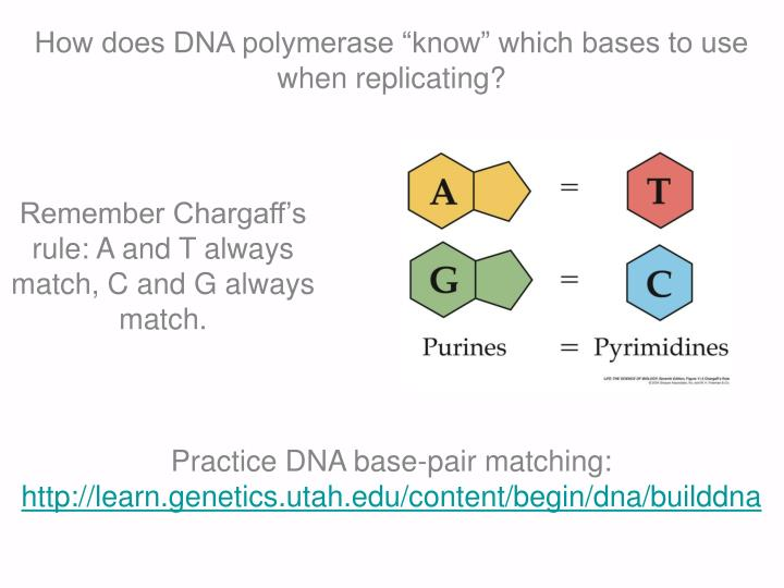 "How does DNA polymerase ""know"" which bases to use when replicating?"