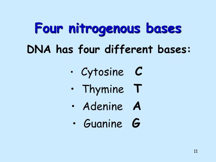 Four nitrogenous bases