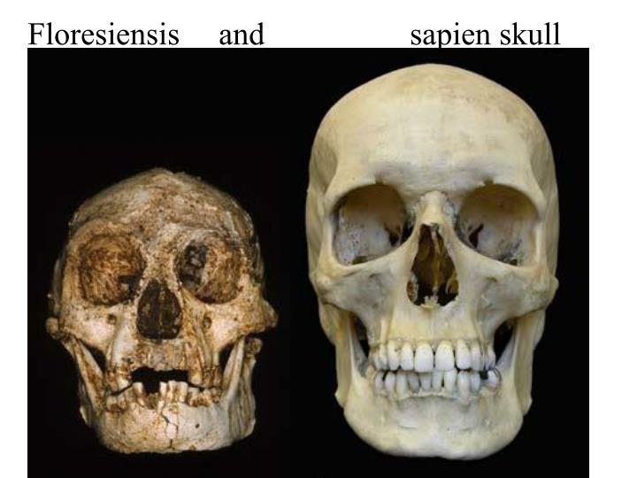 Floresiensis and sapien skull