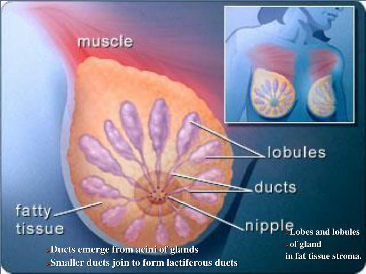 Lobes and lobules