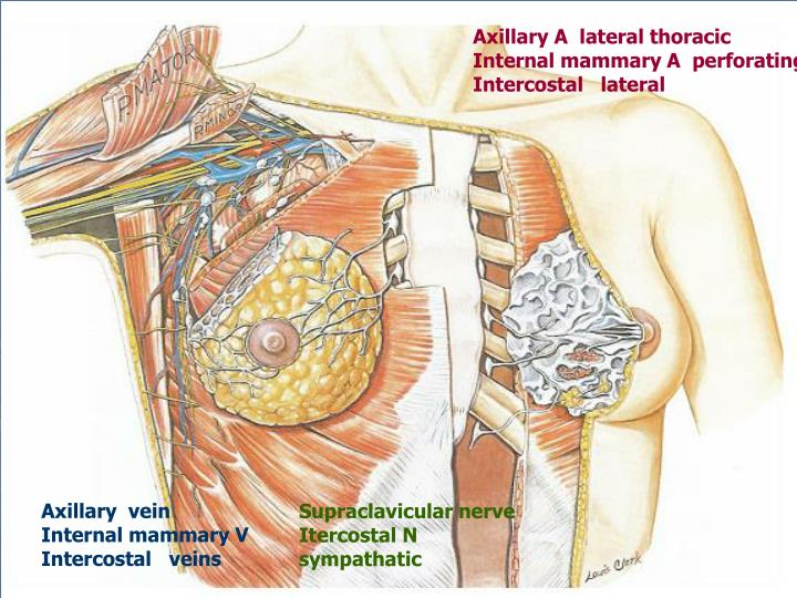 Axillary A  lateral thoracic