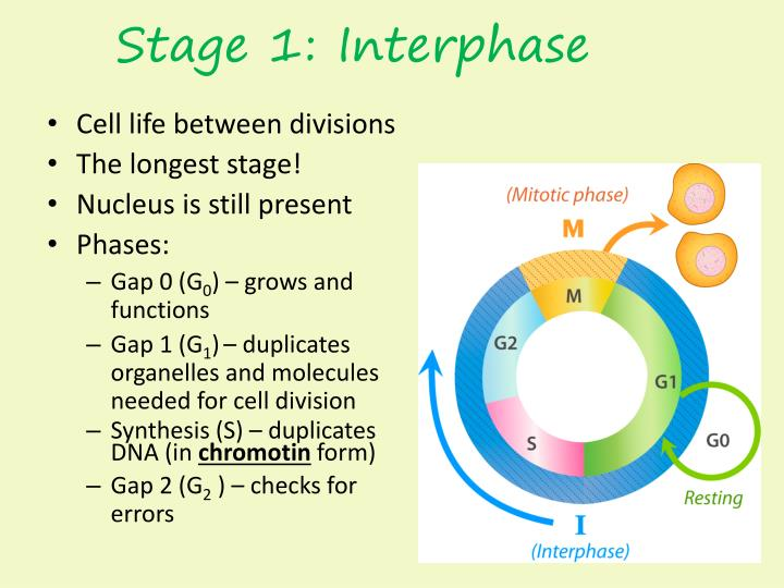 Stage 1: Interphase