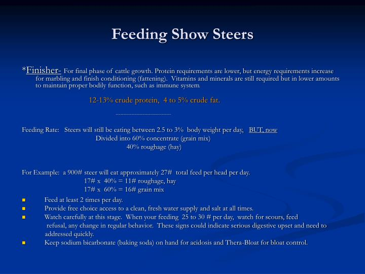 Feeding Show Steers
