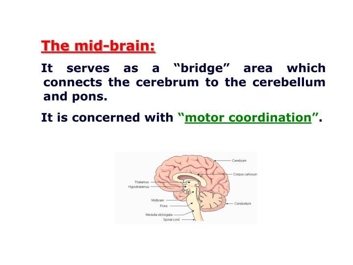 The mid-brain: