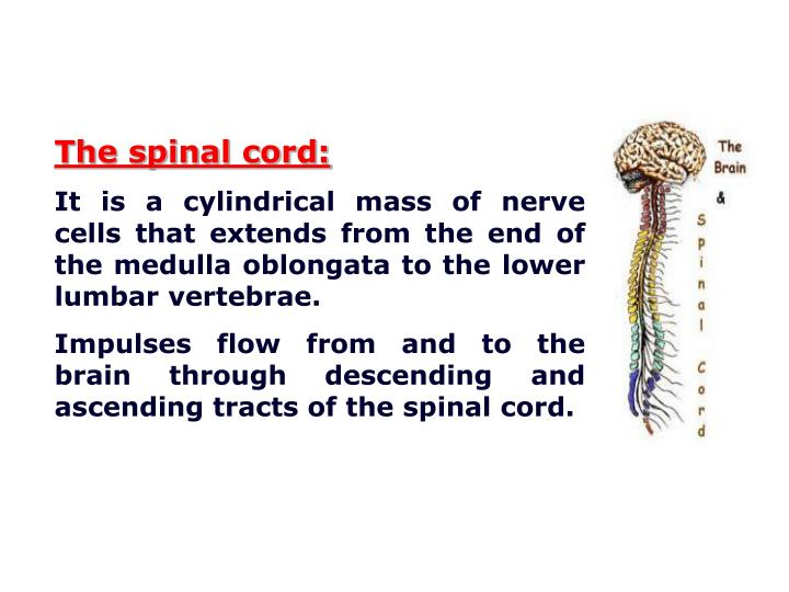 The spinal cord: