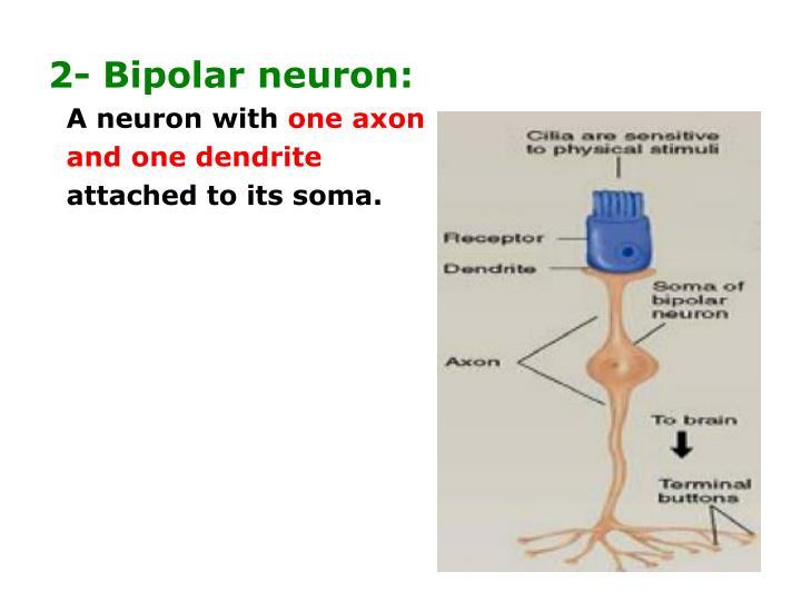 2- Bipolar neuron: