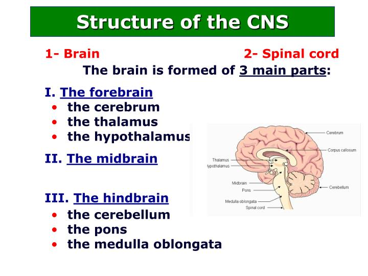 Structure of the CNS