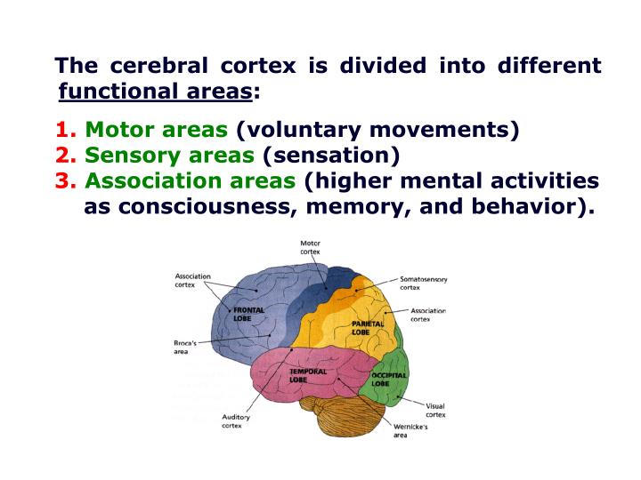 The cerebral cortex is divided into different