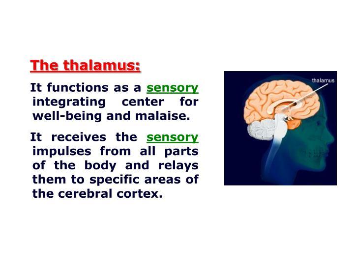 The thalamus: