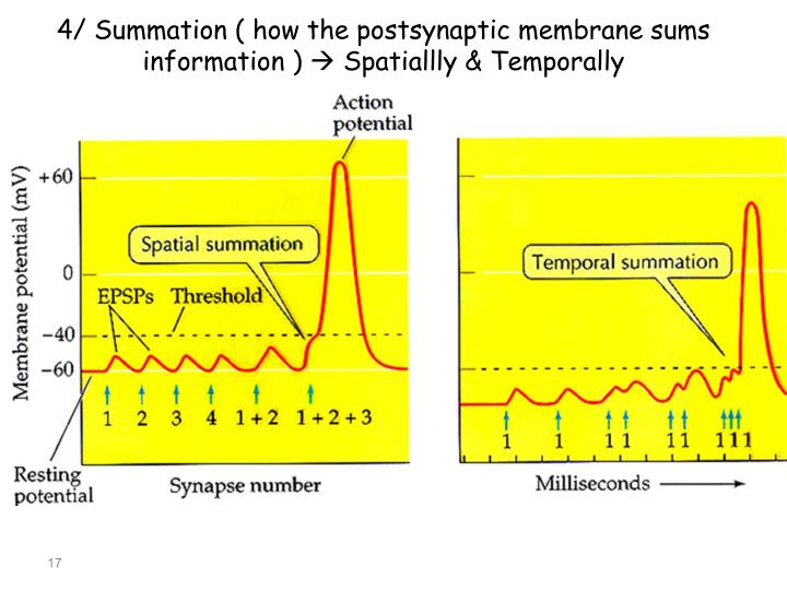 4/ Summation ( how the postsynaptic membrane sums information )