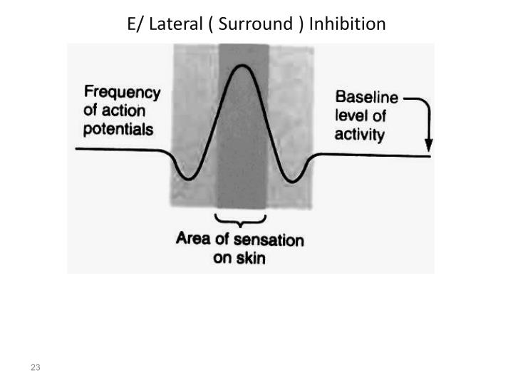 E/ Lateral ( Surround ) Inhibition