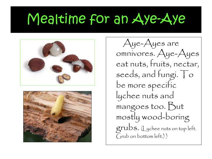 Mealtime for an Aye-Aye