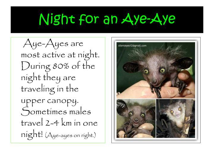 Night for an Aye-Aye