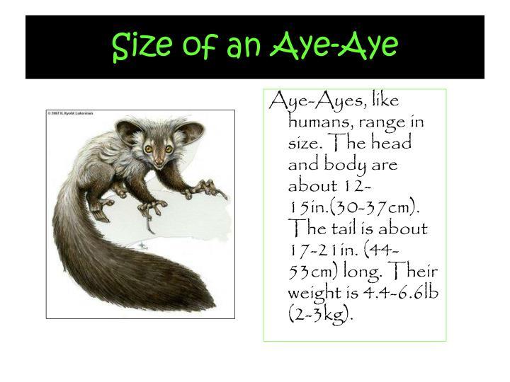 Size of an Aye-Aye