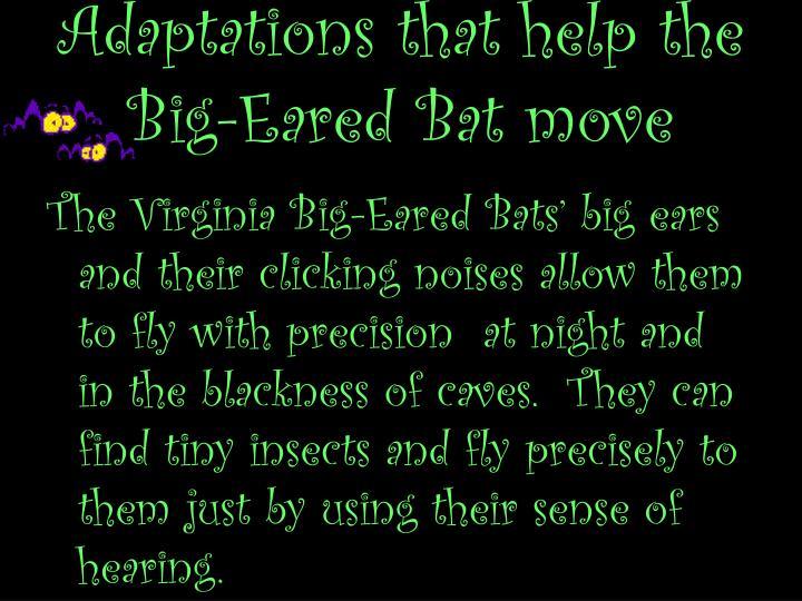 Adaptations that help the Big-Eared Bat move