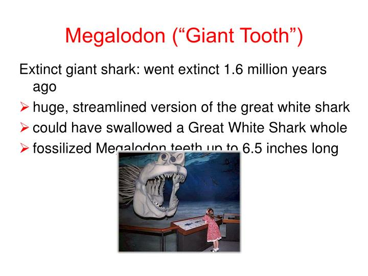 "Megalodon (""Giant Tooth"")"