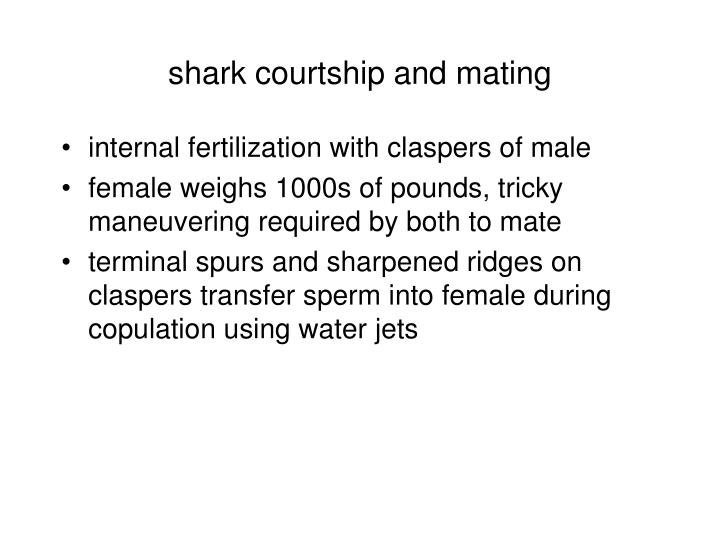 shark courtship and mating
