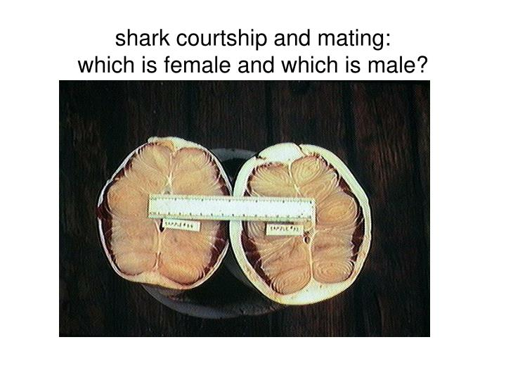 shark courtship and mating: