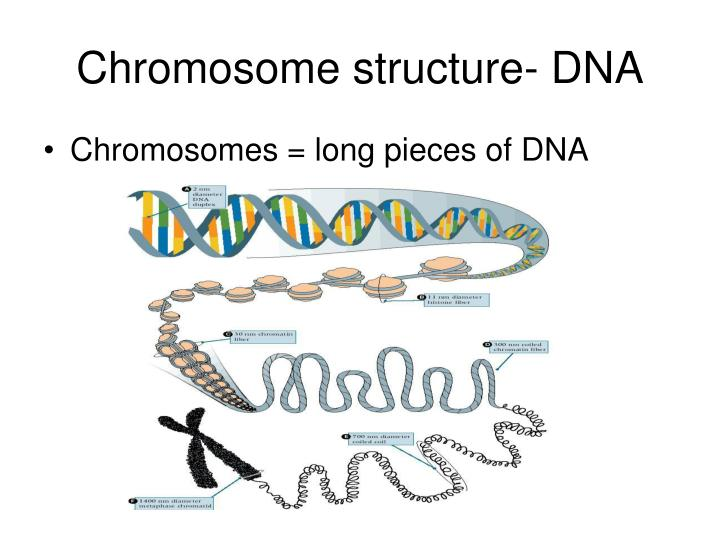 Chromosome structure- DNA