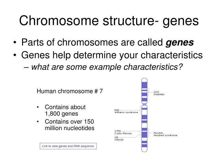 Chromosome structure- genes