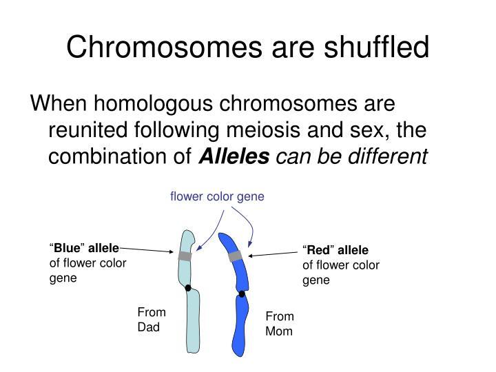 Chromosomes are shuffled