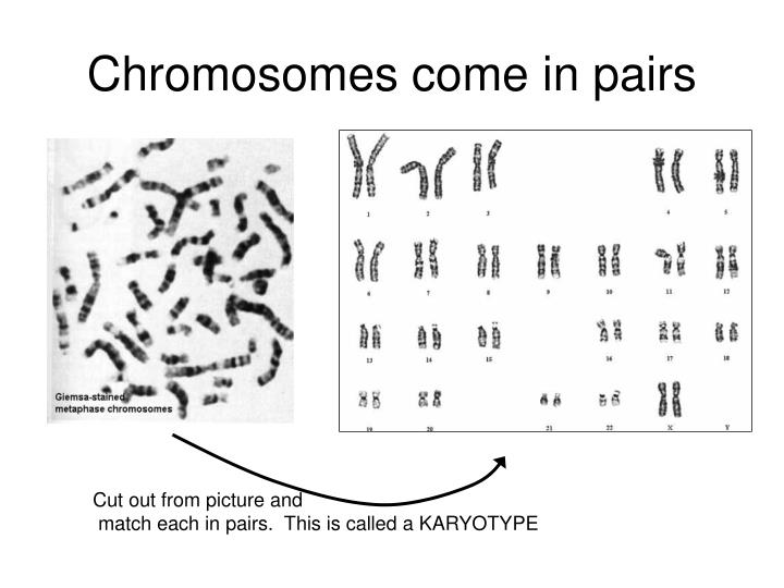 Chromosomes come in pairs