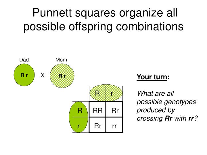Punnett squares organize all possible offspring combinations