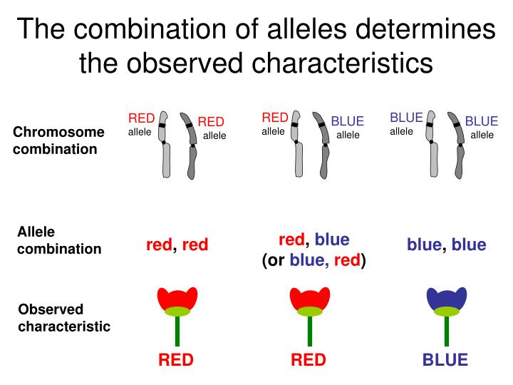 The combination of alleles determines the observed characteristics
