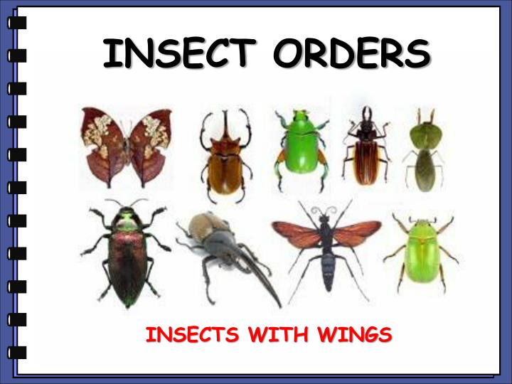 INSECT ORDERS