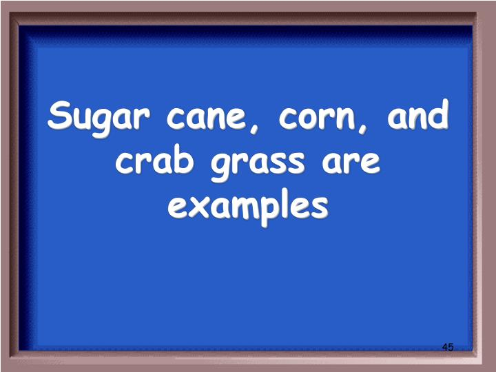 Sugar cane, corn, and crab grass are examples