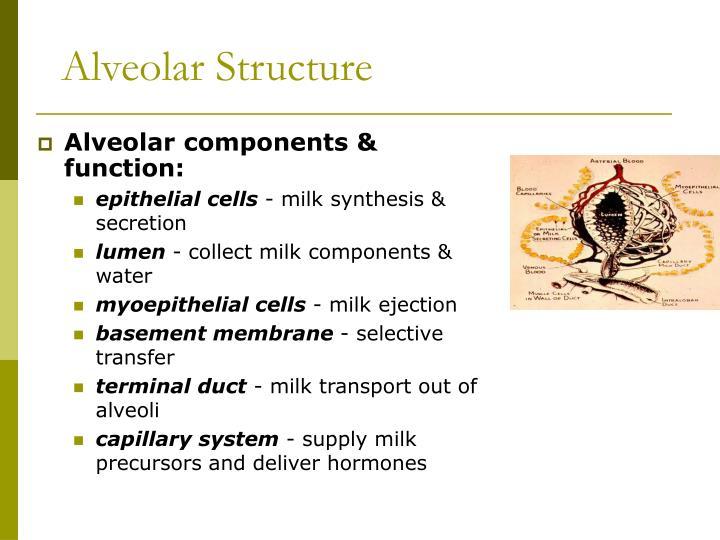 Alveolar Structure