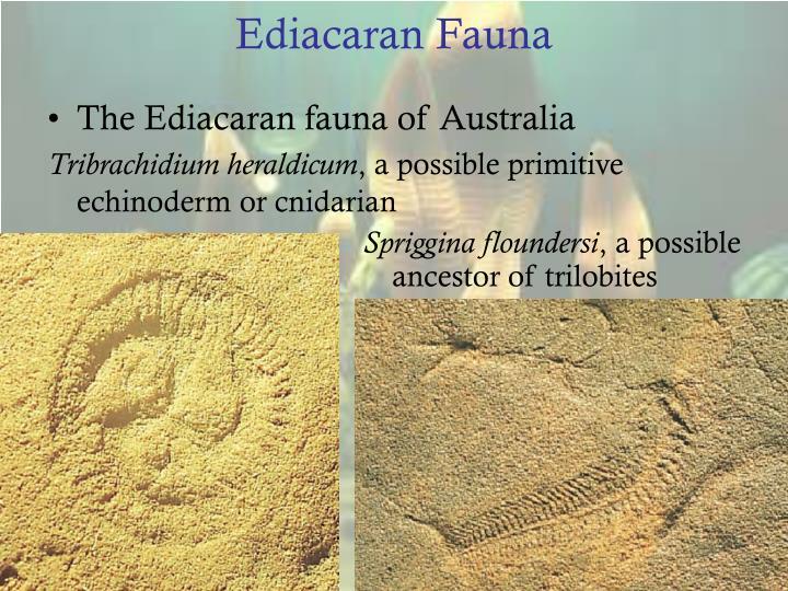 Ediacaran Fauna