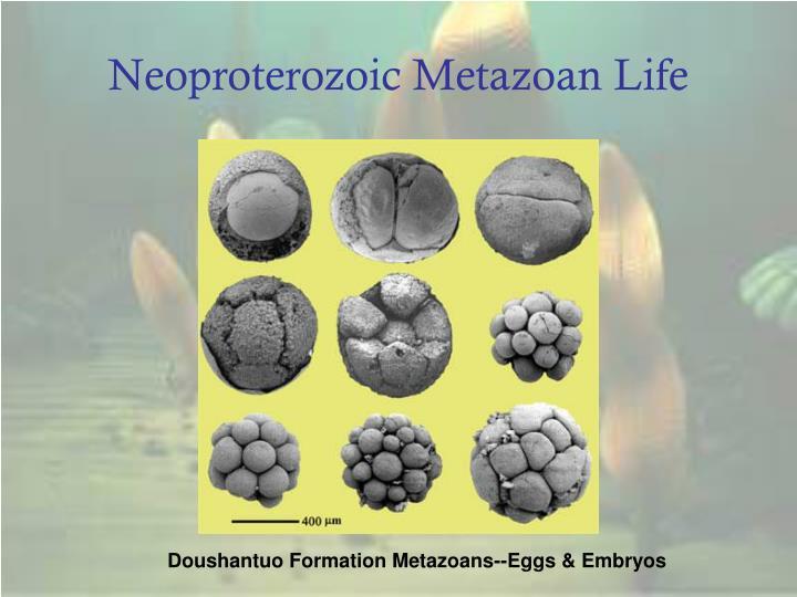 Neoproterozoic Metazoan Life
