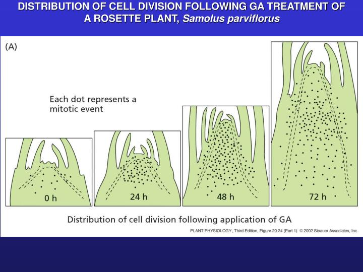 DISTRIBUTION OF CELL DIVISION FOLLOWING GA TREATMENT OF A ROSETTE PLANT,