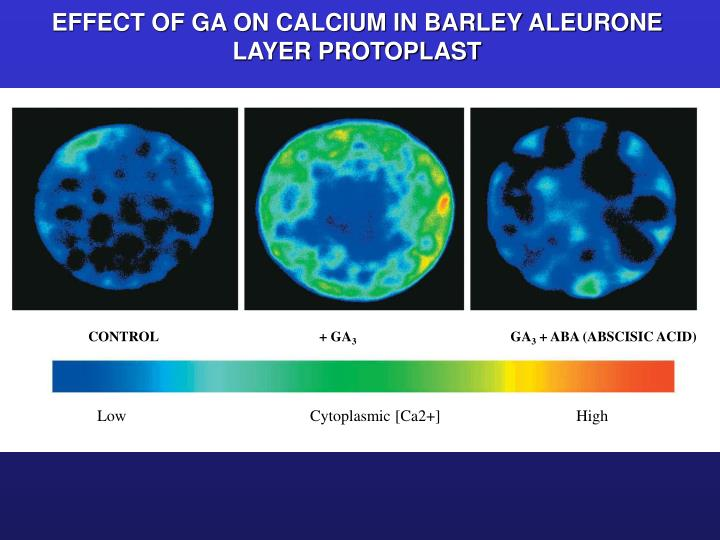 EFFECT OF GA ON CALCIUM IN BARLEY ALEURONE LAYER PROTOPLAST