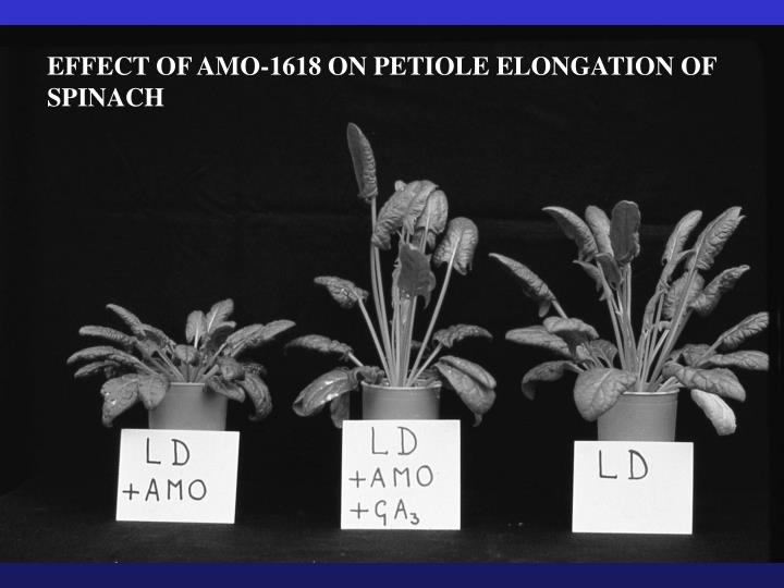 EFFECT OF AMO-1618 ON PETIOLE ELONGATION OF SPINACH