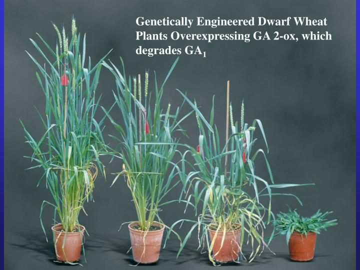 Genetically Engineered Dwarf Wheat Plants Overexpressing GA 2-ox, which degrades GA