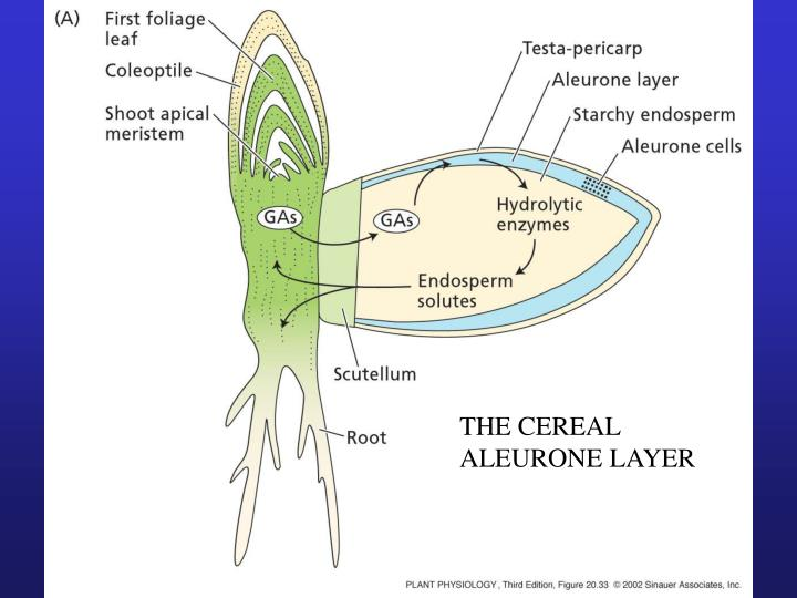THE CEREAL ALEURONE LAYER