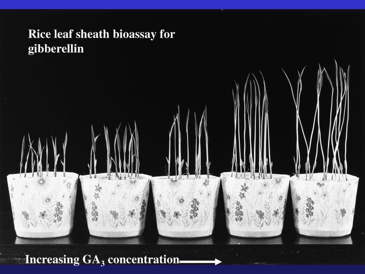 Rice leaf sheath bioassay for gibberellin